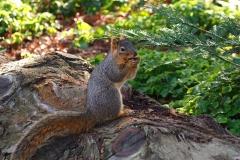 Gray-Squirrel, Dimond Park, Oakland