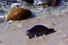 Harbor seals & pup Pacific Grove
