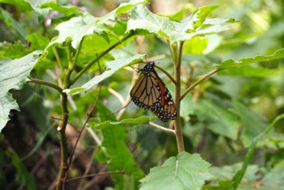 Monarchs of Mexico